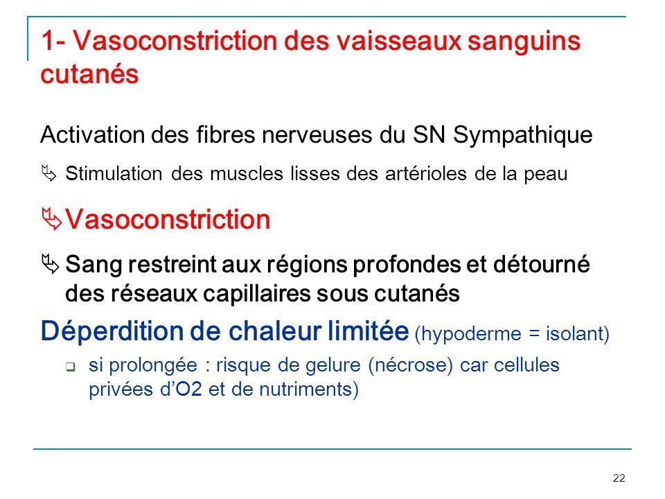 22 1- Vasoconstriction des vaisseaux sanguins cutanés Activation des fibres nerveuses du SN Sympathique Stimulation des muscles lisses des artérioles