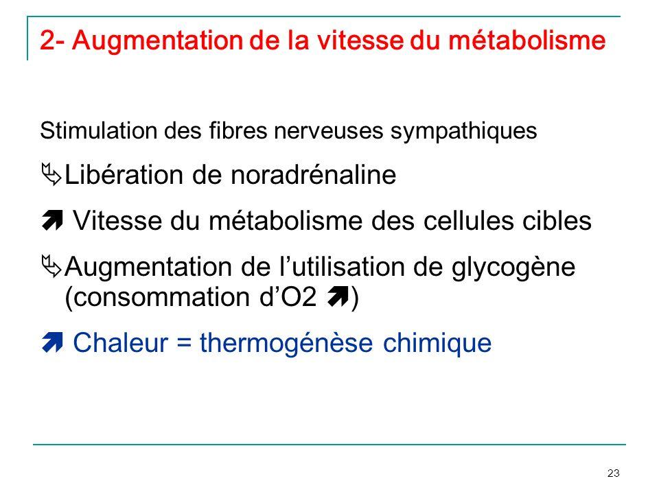 23 2- Augmentation de la vitesse du métabolisme Stimulation des fibres nerveuses sympathiques Libération de noradrénaline Vitesse du métabolisme des c