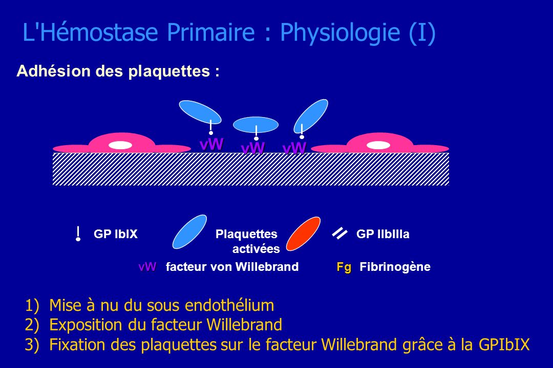L'Hémostase Primaire : Physiologie (I) Adhésion des plaquettes : vW vWvW vWfacteur von Willebrand GP IIbIIIaGP IbIX FgFibrinogène Plaquettes activées