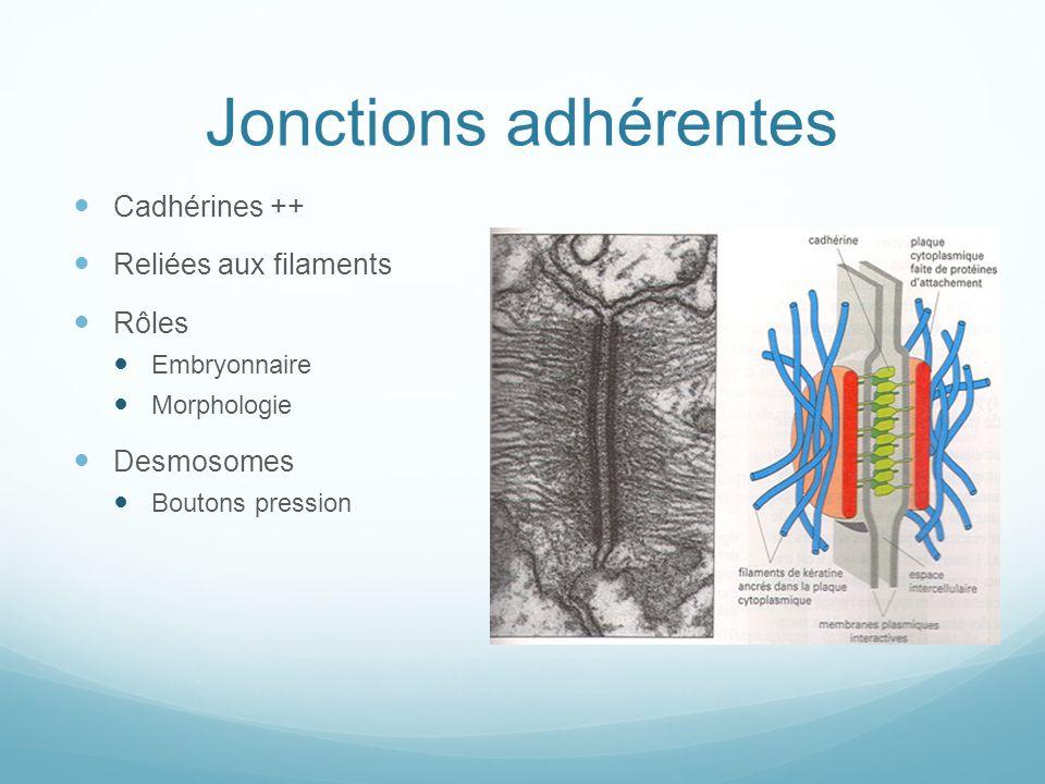 Adhérence cellule - matrice