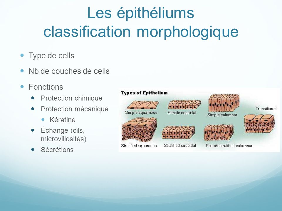 Les épithéliums classification morphologique Type de cells Nb de couches de cells Fonctions Protection chimique Protection mécanique Kératine Échange