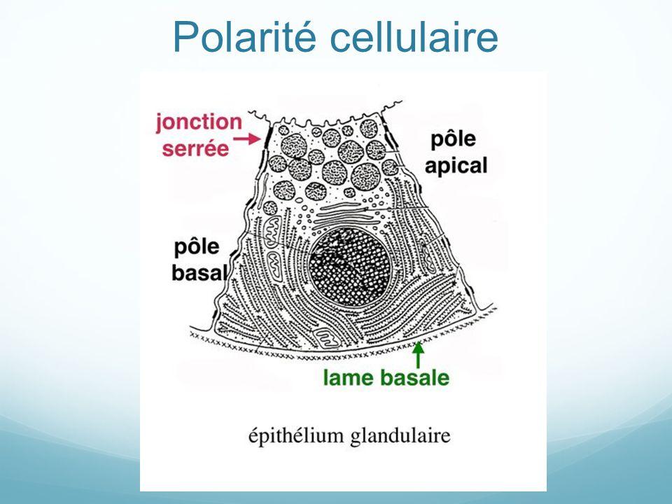 Tissu musculaire strié : ultrastructure