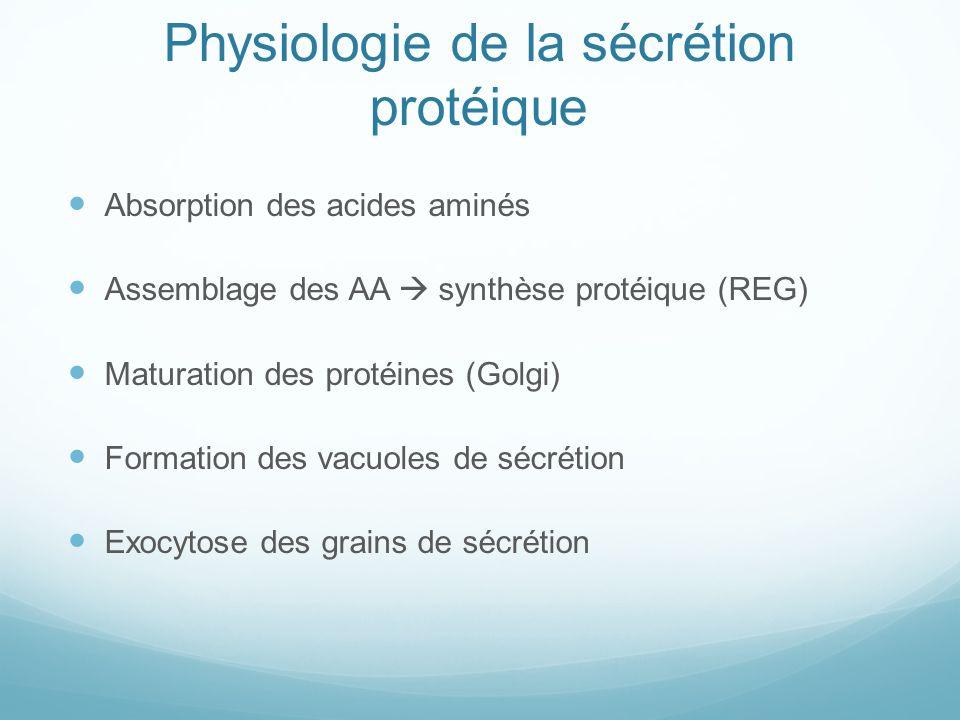Physiologie de la sécrétion protéique Absorption des acides aminés Assemblage des AA synthèse protéique (REG) Maturation des protéines (Golgi) Formation des vacuoles de sécrétion Exocytose des grains de sécrétion