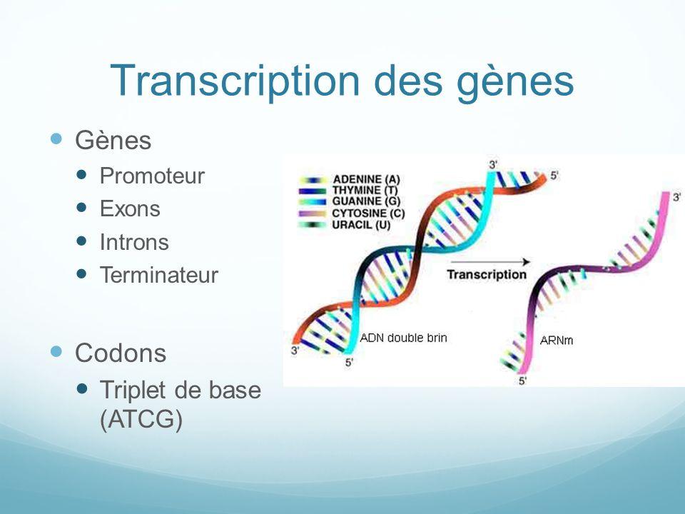 Transcription des gènes Gènes Promoteur Exons Introns Terminateur Codons Triplet de base (ATCG)