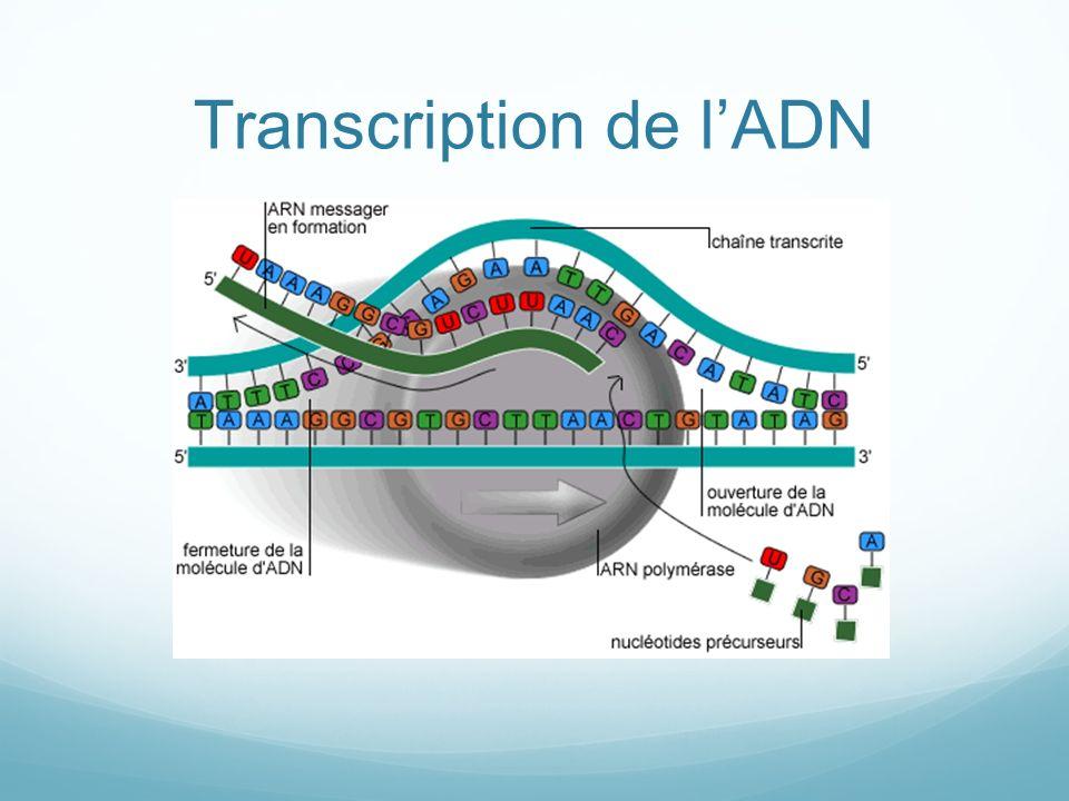 Transcription de lADN