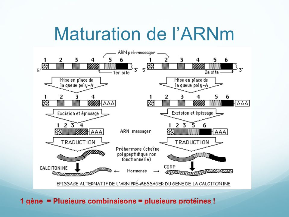 Maturation de lARNm