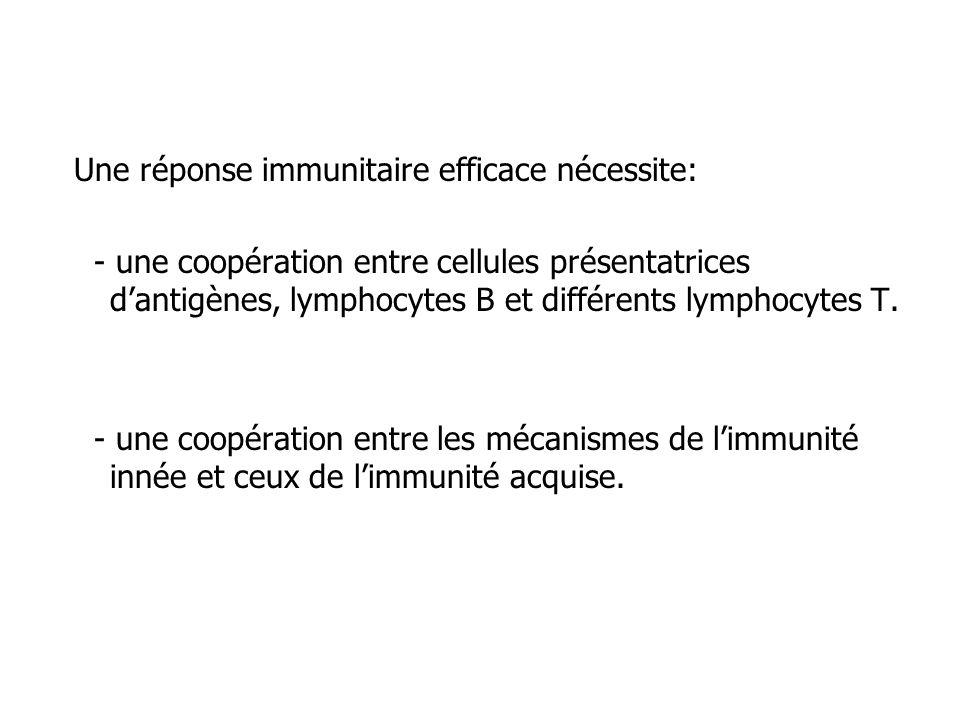 Une réponse immunitaire efficace nécessite: - une coopération entre cellules présentatrices dantigènes, lymphocytes B et différents lymphocytes T. - u