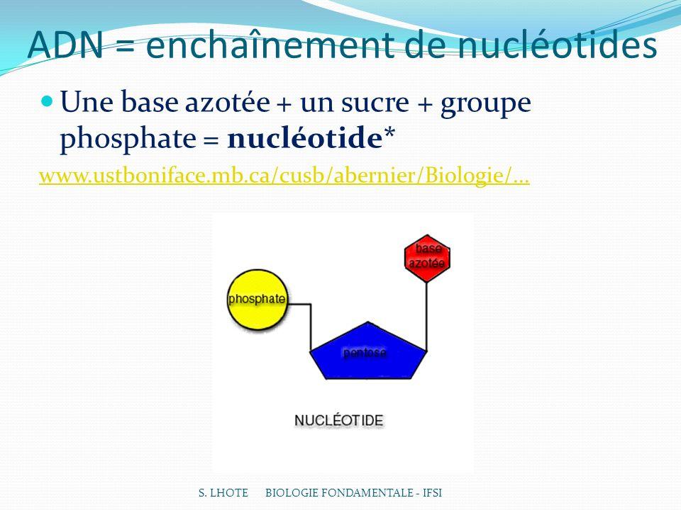 ADN = enchaînement de nucléotides Une base azotée + un sucre + groupe phosphate = nucléotide* www.ustboniface.mb.ca/cusb/abernier/Biologie/... S. LHOT