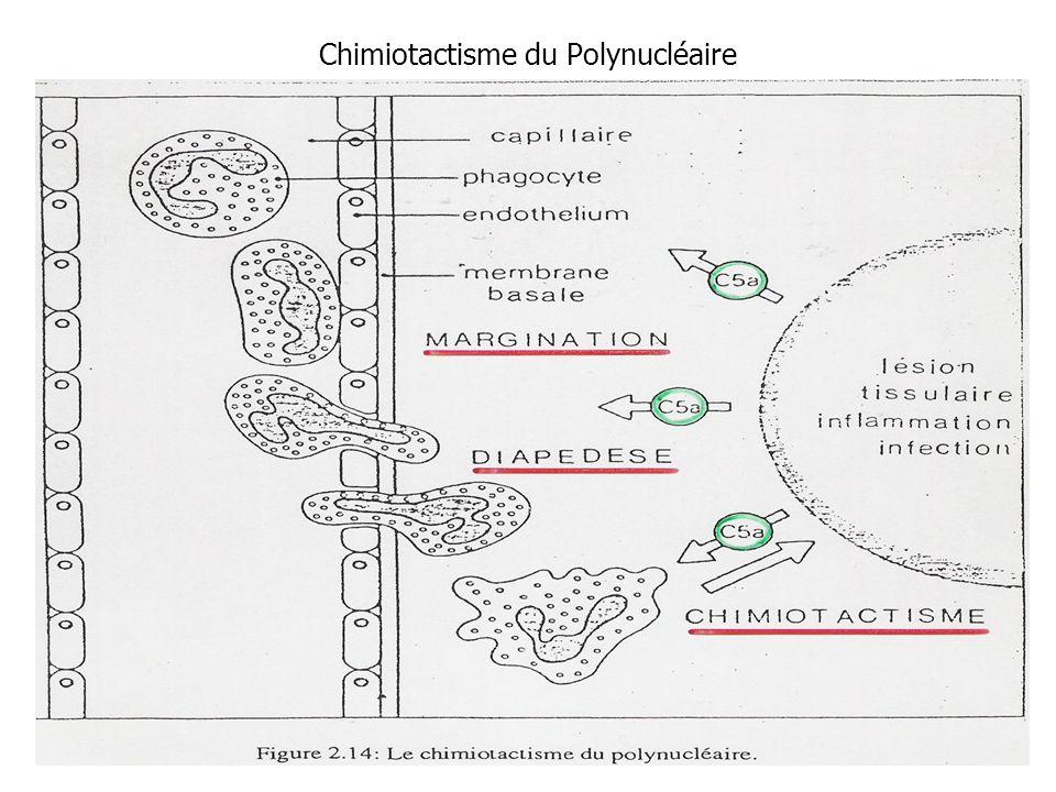 Chimiotactisme du Polynucléaire