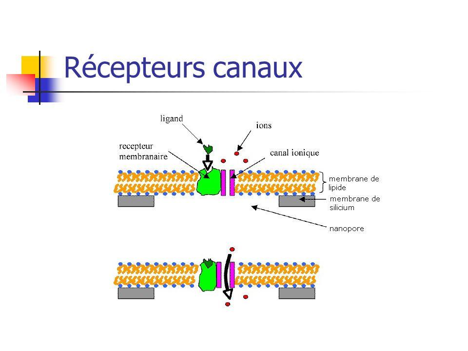 Récepteurs intra-cellulaires : stéroïdes.