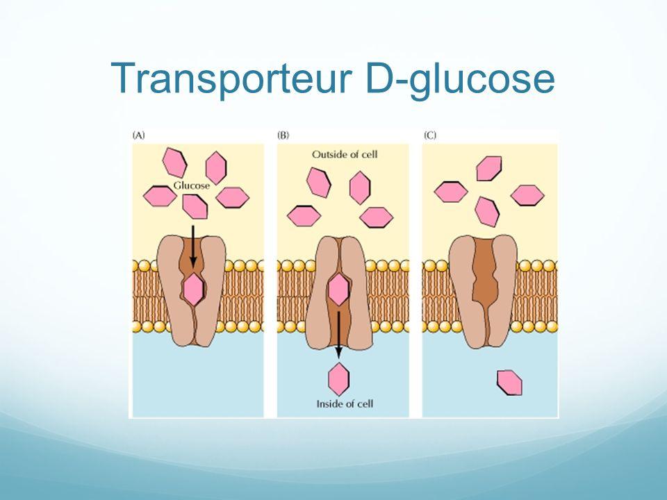 Transporteur D-glucose