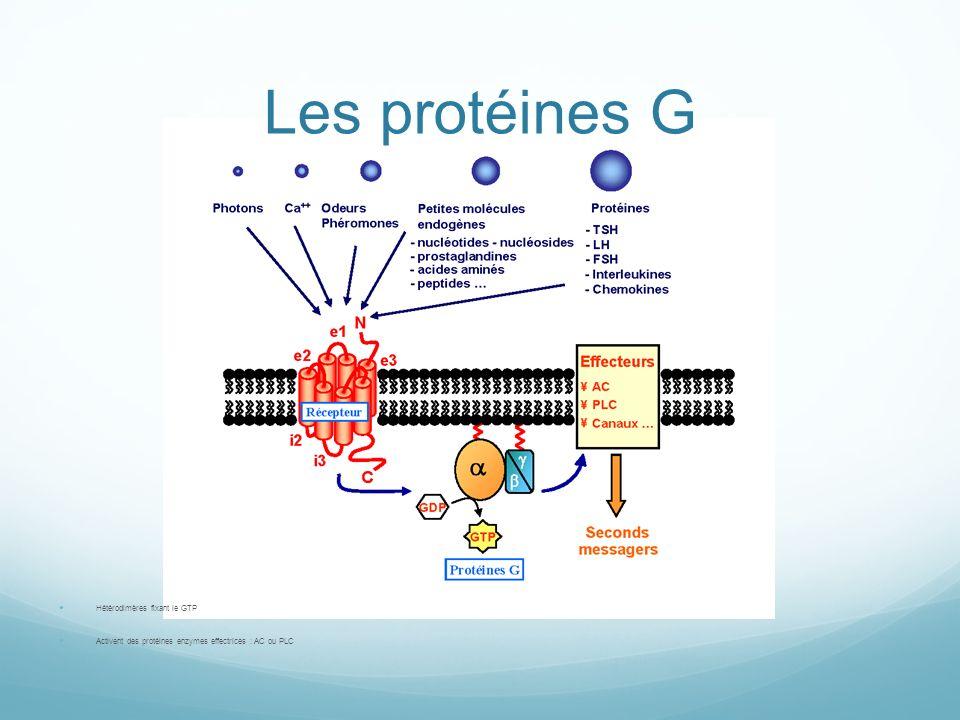 Les protéines G Hétérodimères fixant le GTP Activent des protéines enzymes effectrices : AC ou PLC