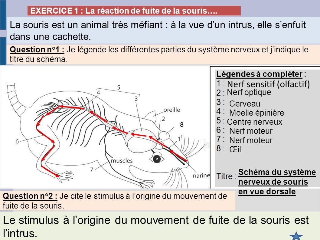 EXERCICE 1 : La réaction de fuite de la souris…. La souris est un animal très méfiant : à la vue dun intrus, elle senfuit dans une cachette. Question