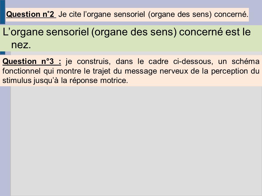 Question n°2 Je cite lorgane sensoriel (organe des sens) concerné. Lorgane sensoriel (organe des sens) concerné est le nez. Question n°3 : je construi
