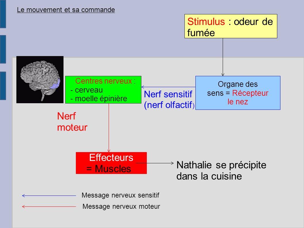 Nerf sensitif (nerf olfactif ) Centres nerveux : - cerveau - moelle épinière Nerf moteur Effecteurs = Musclese Nathalie se précipite dans la cuisine L