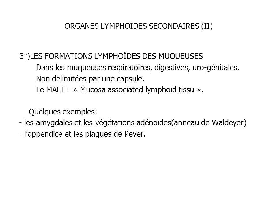 ORGANES LYMPHOÏDES SECONDAIRES (II) 3°)LES FORMATIONS LYMPHOÏDES DES MUQUEUSES Dans les muqueuses respiratoires, digestives, uro-génitales. Non délimi