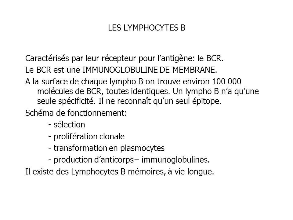 LES LYMPHOCYTES B Caractérisés par leur récepteur pour lantigène: le BCR. Le BCR est une IMMUNOGLOBULINE DE MEMBRANE. A la surface de chaque lympho B