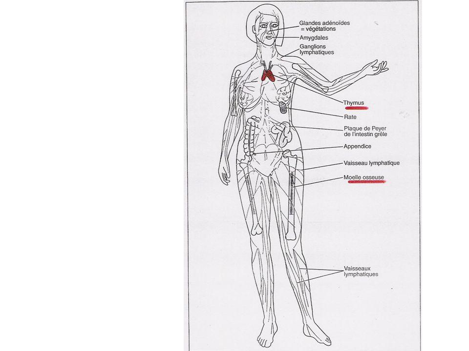 ORGANES LYMPHOÏDES SECONDAIRES (II) 3°)LES FORMATIONS LYMPHOÏDES DES MUQUEUSES Dans les muqueuses respiratoires, digestives, uro-génitales.