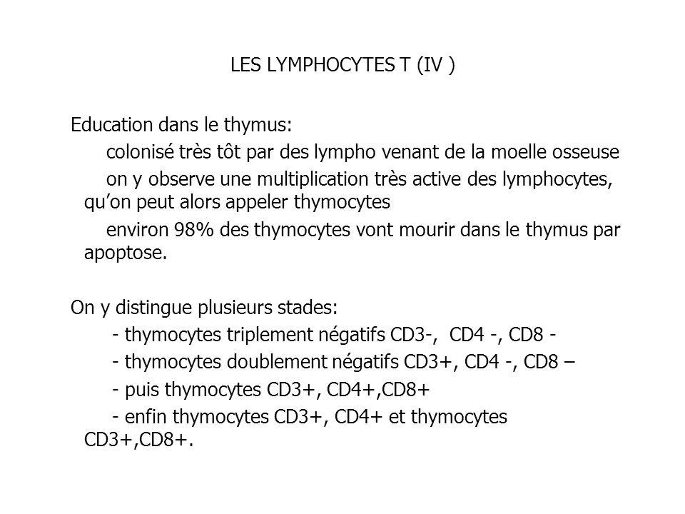 LES LYMPHOCYTES T (IV ) Education dans le thymus: colonisé très tôt par des lympho venant de la moelle osseuse on y observe une multiplication très ac