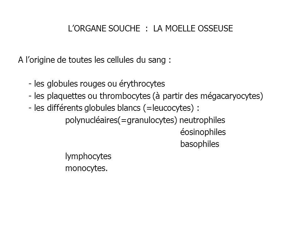 LORGANE SOUCHE : LA MOELLE OSSEUSE A lorigine de toutes les cellules du sang : - les globules rouges ou érythrocytes - les plaquettes ou thrombocytes