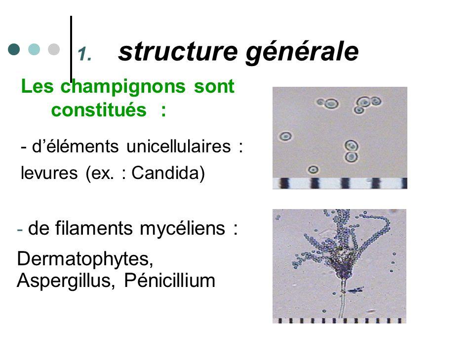 Les champignons sont constitués : - déléments unicellulaires : levures (ex. : Candida) - - de filaments mycéliens : Dermatophytes, Aspergillus, Pénici