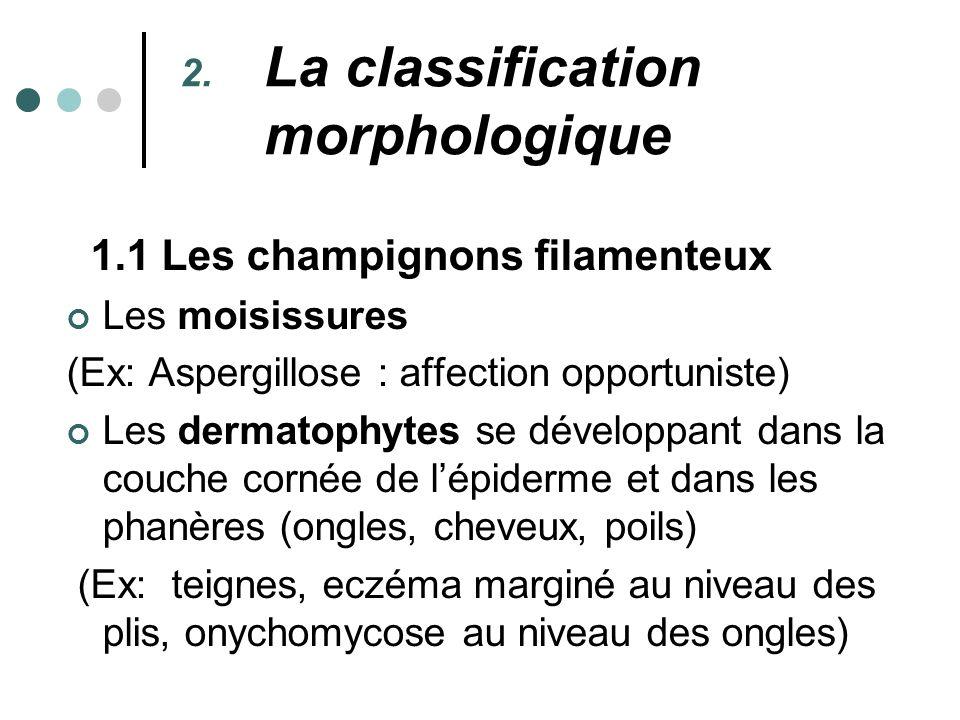 2. La classification morphologique 1.1 Les champignons filamenteux Les moisissures (Ex: Aspergillose : affection opportuniste) Les dermatophytes se dé