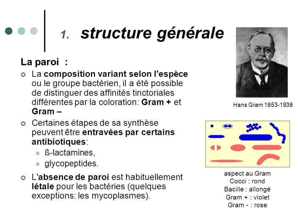 La paroi : La composition variant selon l'espèce ou le groupe bactérien, il a été possible de distinguer des affinités tinctoriales différentes par la