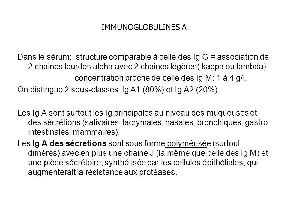 IMMUNOGLOBULINES A Dans le sérum: structure comparable à celle des Ig G = association de 2 chaines lourdes alpha avec 2 chaines légères( kappa ou lambda) concentration proche de celle des Ig M: 1 à 4 g/l.