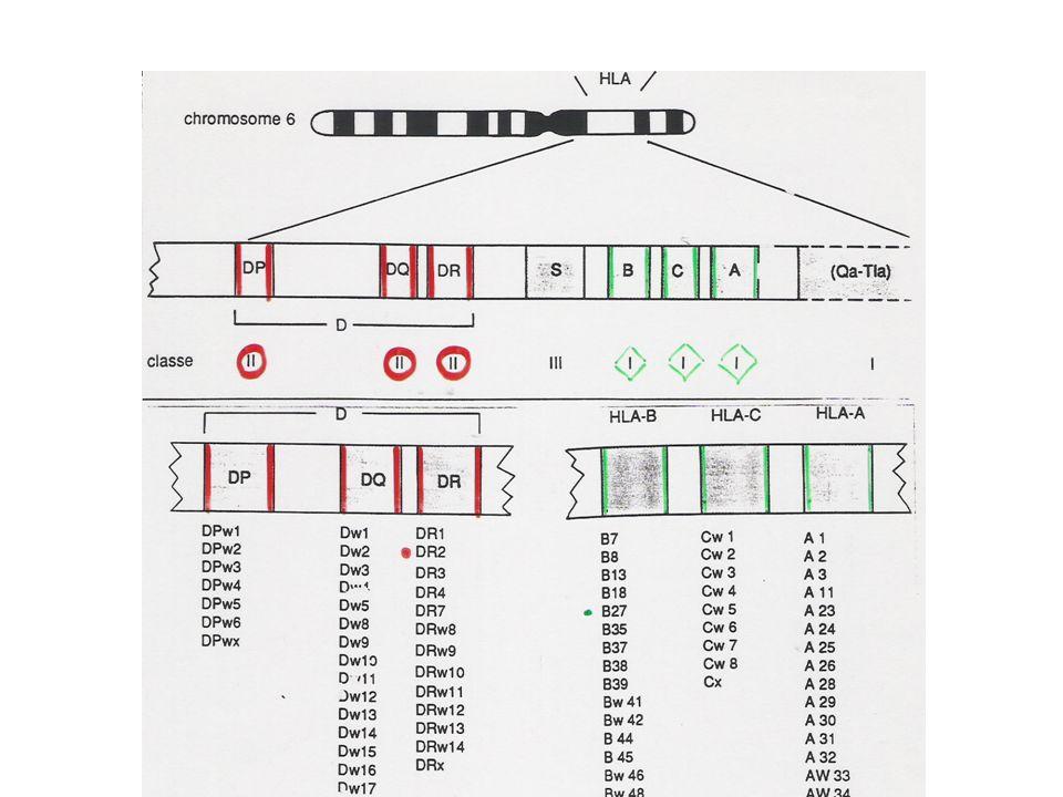 LES MOLECULES DU C M H ( II ) Protéines de classe I : - structure: 1 seule chaine protéique+ béta 2 microglobuline - se trouvent à la surface de toutes les cellules nuclées - elles présentent les antigènes aux lymphocytes T CD8+ Protéines de classe II : - structure: 1 chaine alpha + 1 chaine béta - ne se rencontrent quà la surface des CPA - présentent les Ag aux lymphocytes T « Helpers » CD4+.