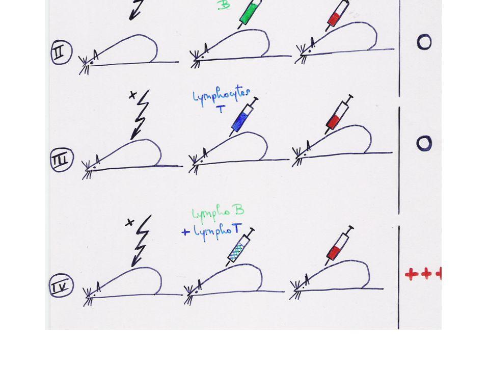 CONCLUSION Pour les antigènes « thymo-dépendants » la production des anticorps spécifiques nécessite une coopération entre lymphocytes B et lymphocytes T.