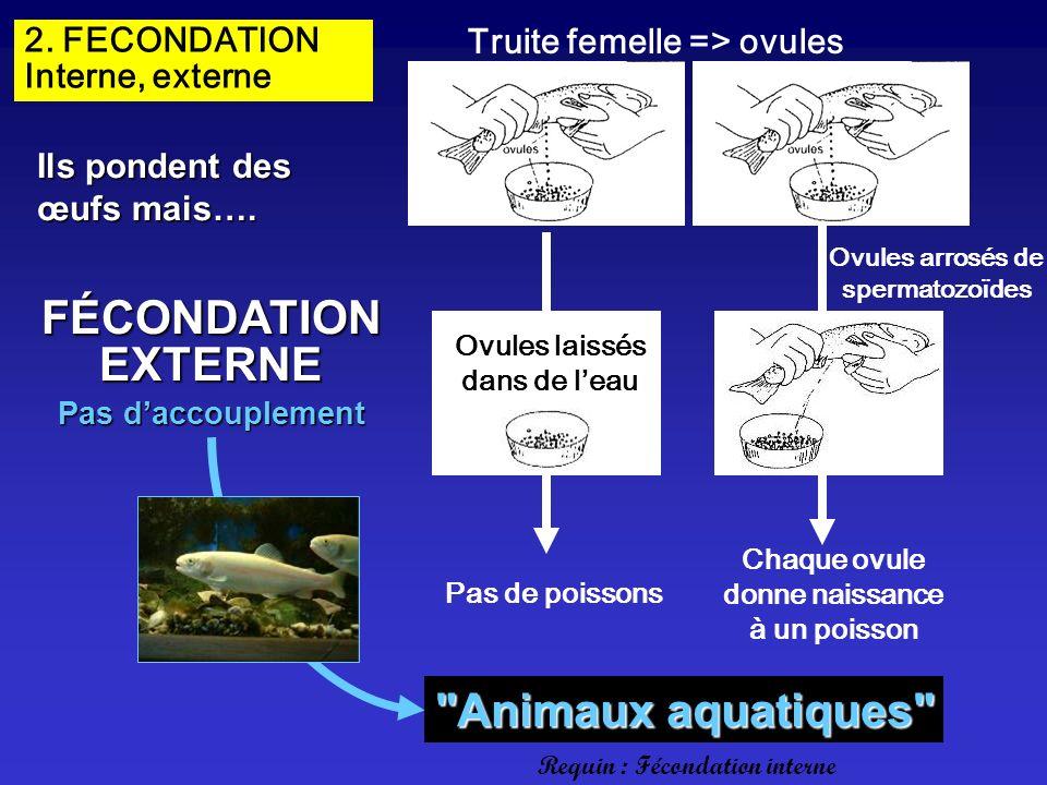 2. FECONDATION Interne, externe Truite femelle => ovules Ovules arrosés de spermatozoïdes FÉCONDATIONEXTERNE Ovules laissés dans de leau Pas de poisso