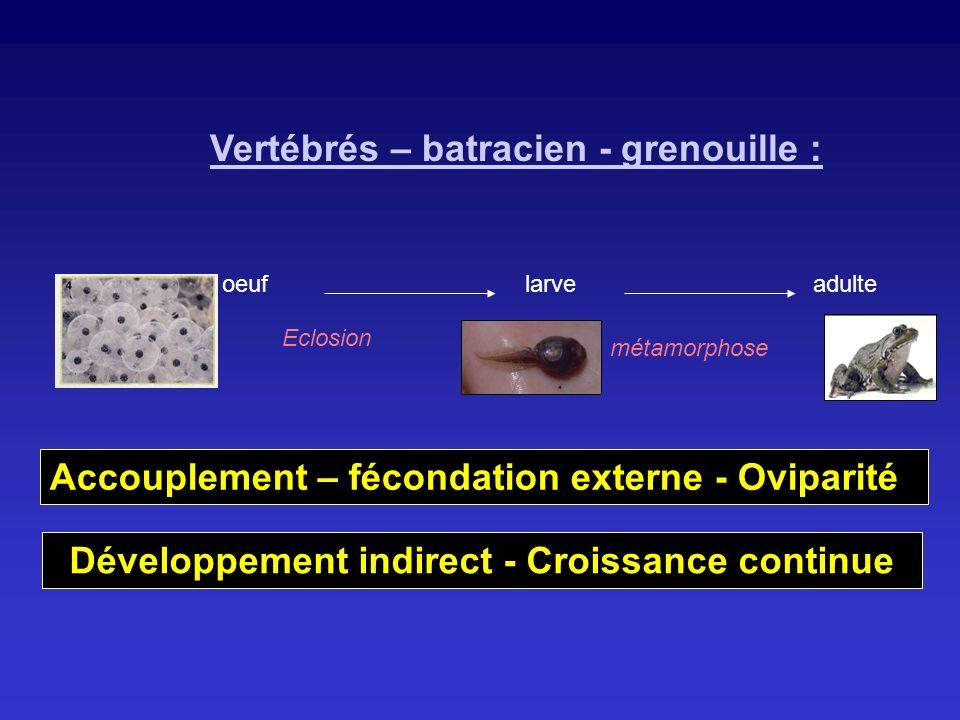 Vertébrés – batracien - grenouille : oeuflarveadulte Eclosion métamorphose Développement indirect - Croissance continue Accouplement – fécondation ext