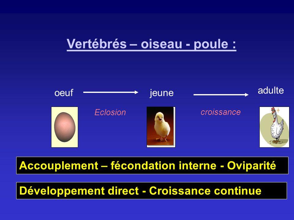 Vertébrés – oiseau - poule : oeufjeune adulte Eclosion croissance Développement direct - Croissance continue Accouplement – fécondation interne - Ovip