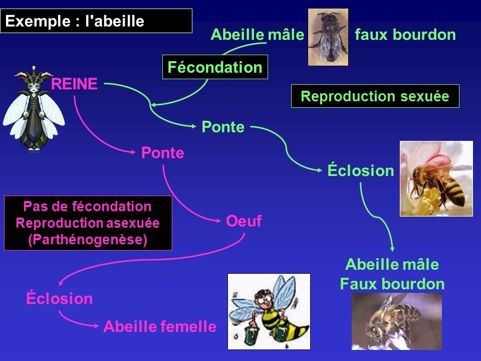 Ponte Oeuf Éclosion Abeille femelle Éclosion Abeille mâle Faux bourdon Pas de fécondation Reproduction asexuée (Parthénogenèse) Abeille mâlefaux bourd