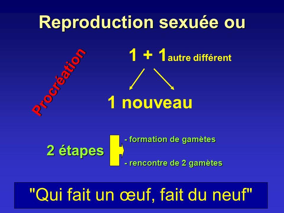 Reproduction sexuée ou 1 + 1 autre différent 1 nouveau Procréation 2 étapes - formation de gamètes - rencontre de 2 gamètes
