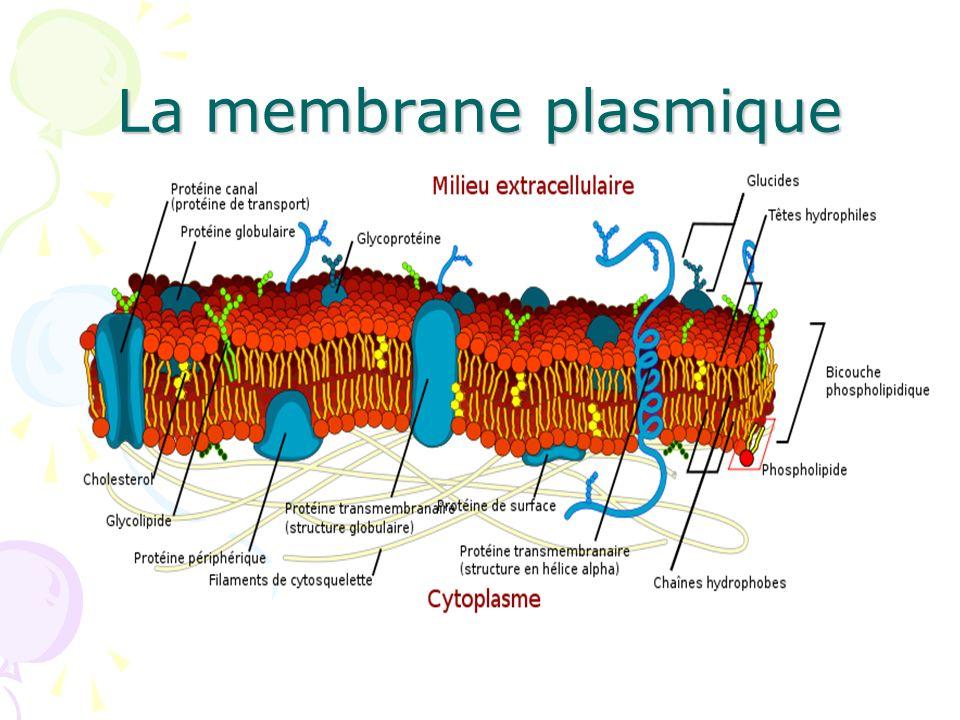 Les molécules hydrophobes (alcools, stéroïdes, anesthésiques locaux) peuvent facilement franchir la membrane en se dissolvant dans les lipides.