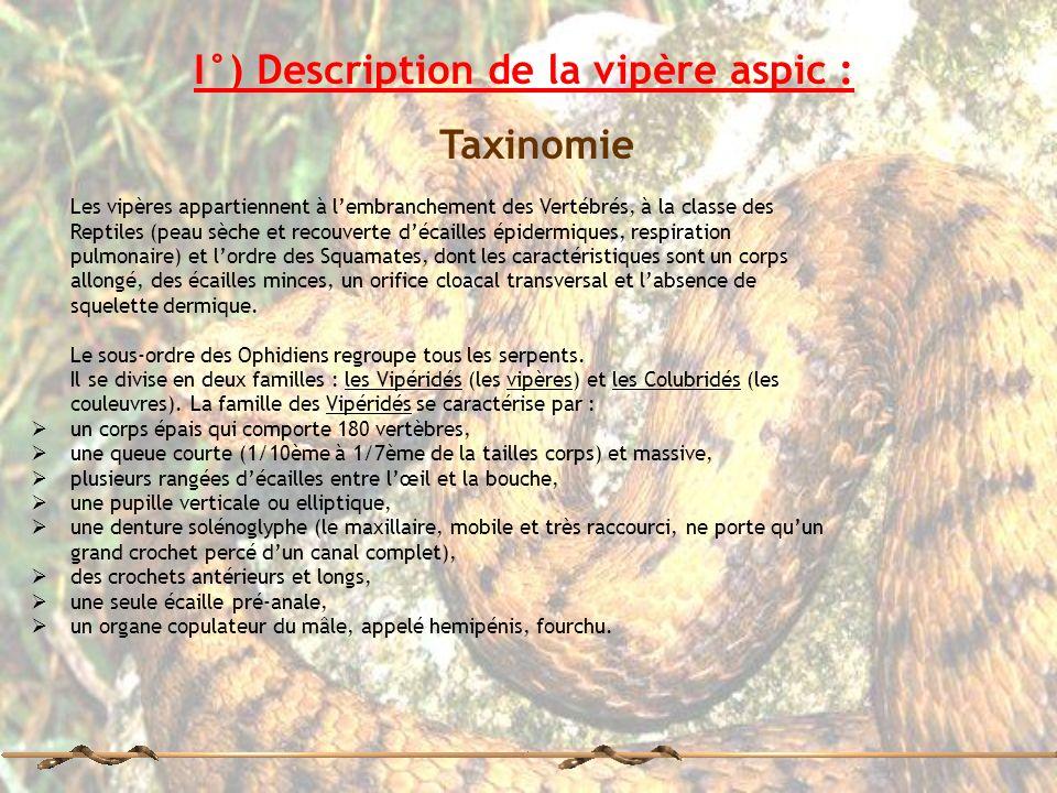 I°) Description de la vipère aspic : Taxinomie Les vipères appartiennent à lembranchement des Vertébrés, à la classe des Reptiles (peau sèche et recou