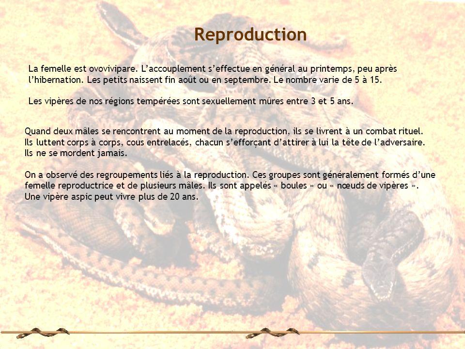 La femelle est ovovivipare. Laccouplement seffectue en général au printemps, peu après lhibernation. Les petits naissent fin août ou en septembre. Le