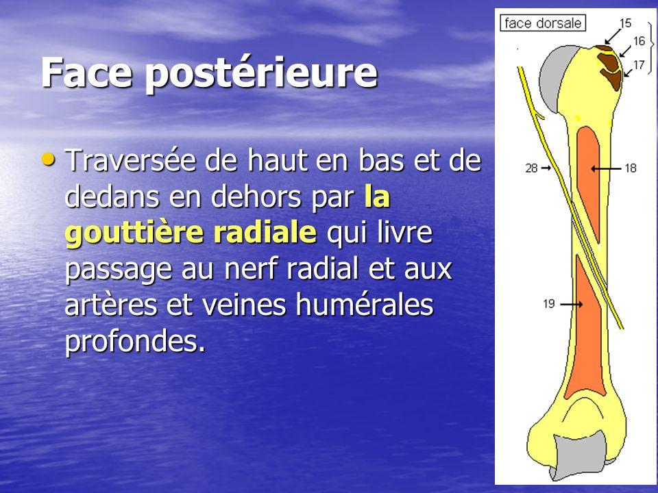 Face postérieure Traversée de haut en bas et de dedans en dehors par la gouttière radiale qui livre passage au nerf radial et aux artères et veines hu