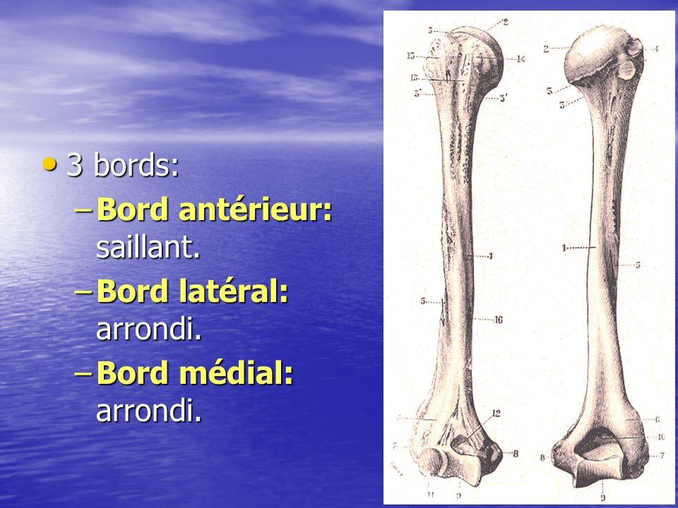 3 bords: 3 bords: –Bord antérieur: saillant. –Bord latéral: arrondi. –Bord médial: arrondi. 20