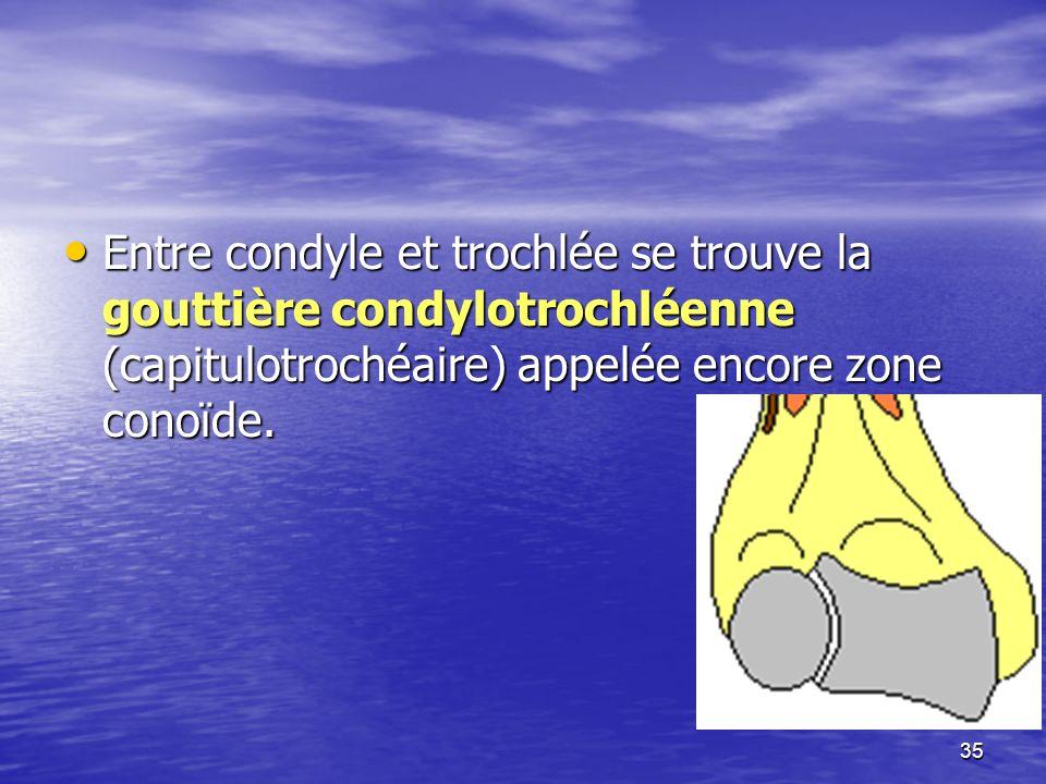 Entre condyle et trochlée se trouve la gouttière condylotrochléenne (capitulotrochéaire) appelée encore zone conoïde. Entre condyle et trochlée se tro