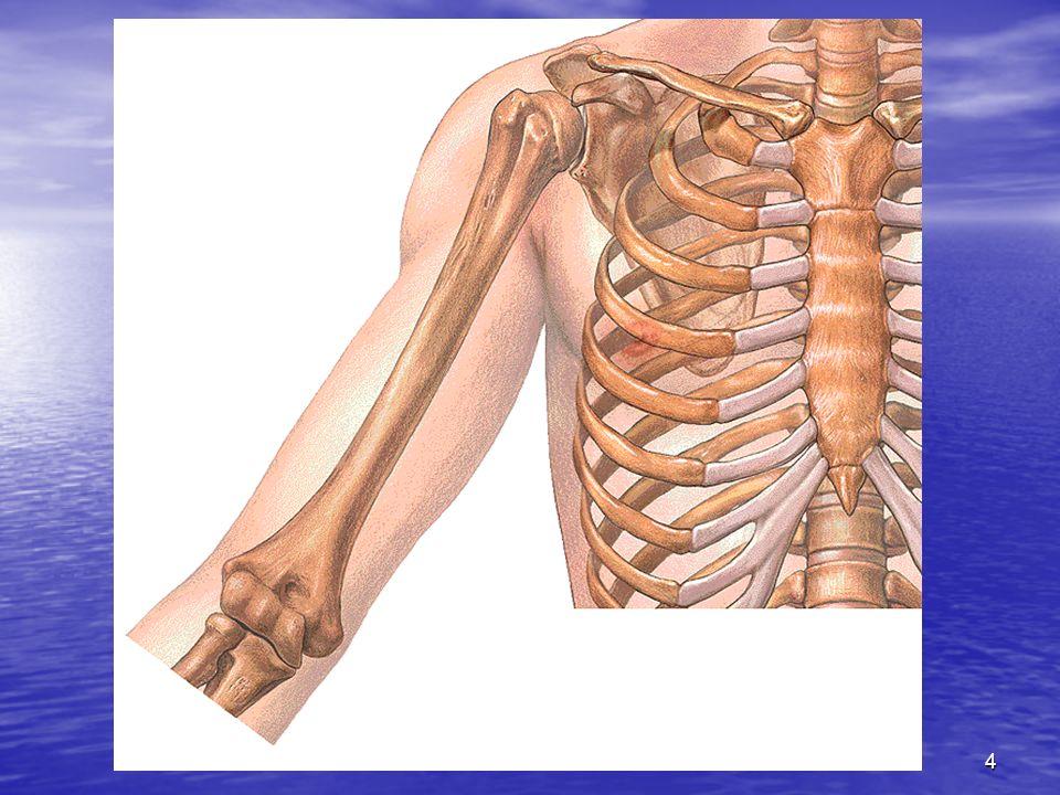 Entre condyle et trochlée se trouve la gouttière condylotrochléenne (capitulotrochéaire) appelée encore zone conoïde.