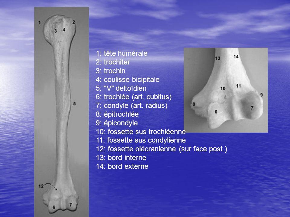 1: tête humérale 2: trochiter 3: trochin 4: coulisse bicipitale 5: