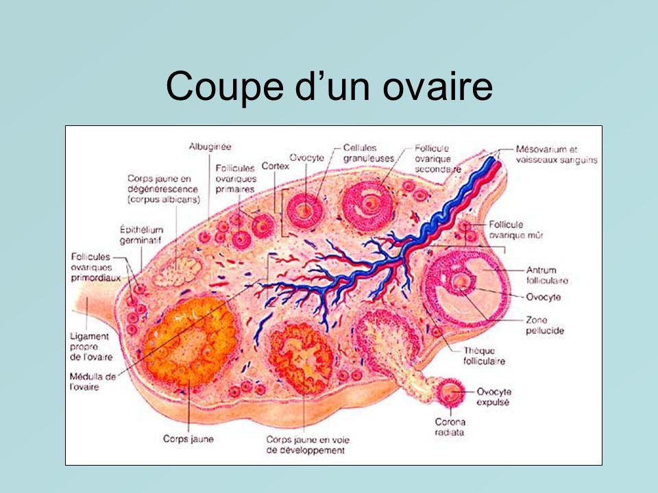 Coupe dun ovaire