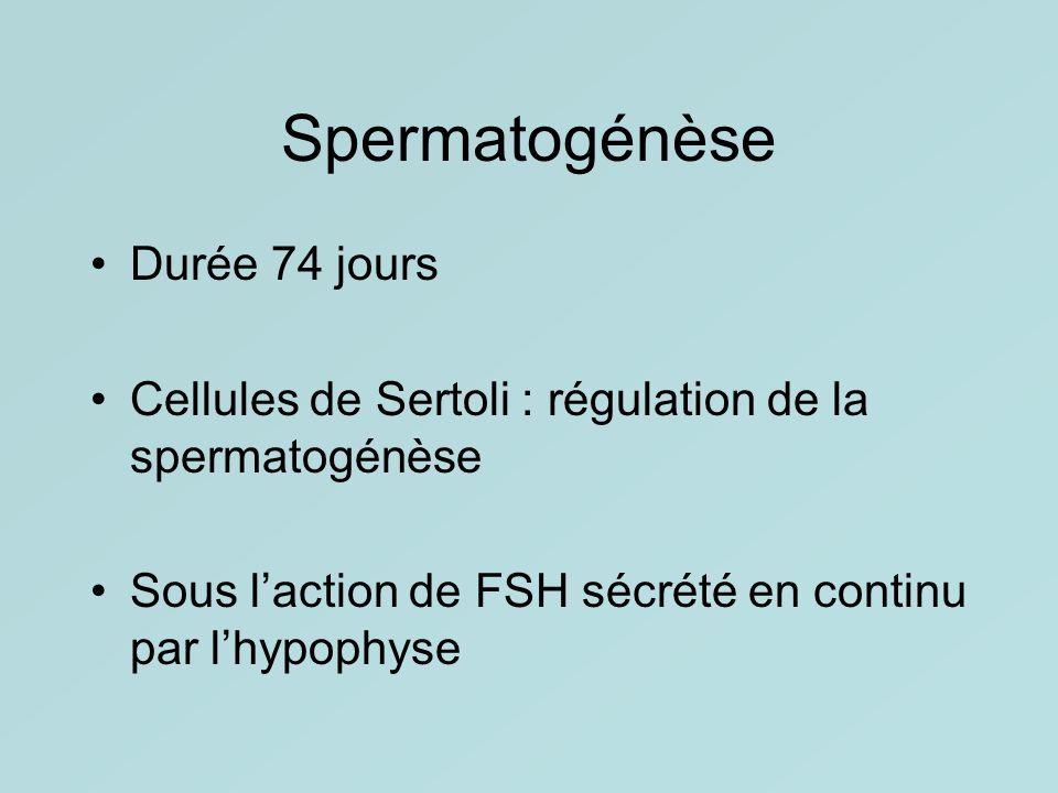 Spermatogénèse Durée 74 jours Cellules de Sertoli : régulation de la spermatogénèse Sous laction de FSH sécrété en continu par lhypophyse