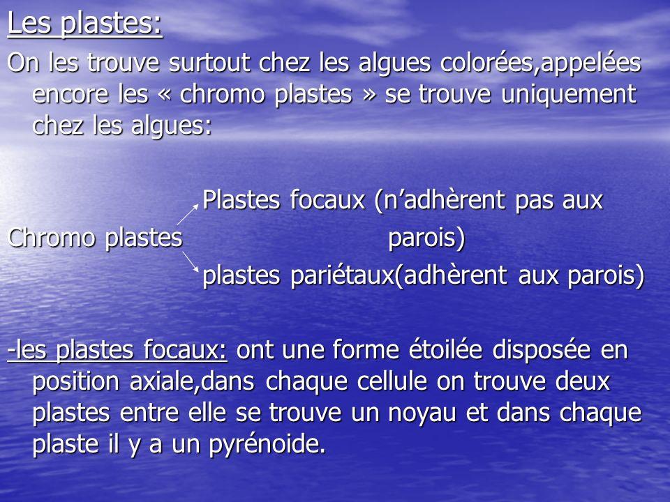 -les plastes pariétaux: Il existe 03 formes: hélicoïdale,cylindrique,perforée.