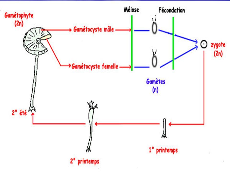 Dans l exemple choisi, le thalle qui produit les organes reproducteurs est le reproducteurs est le gamétophyte à 2n chromosomes fournissant les gamètes mâles et femelles qui après fécondation donneront le zygote d où sera issu un nouvel individu.