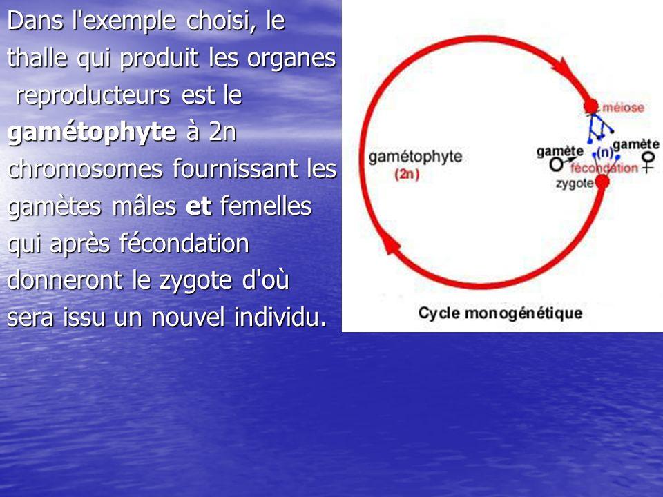 Dans ce cas le cycle est: -monogénétique: il existe un seul type de thalle ou une seule génération.