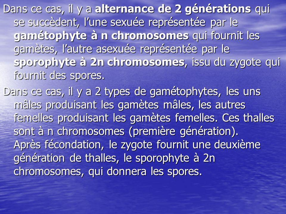Dans ce cas le cycle est: -digénétique: il existe 2 types de thalle ou 2 générations.