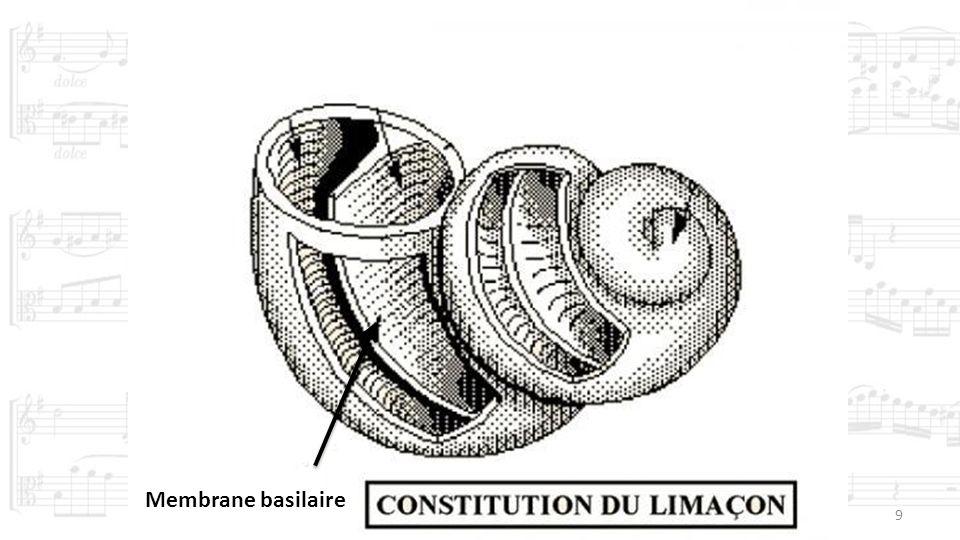 9 Membrane basilaire